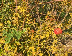 leafy low tree with single red pomegranate
